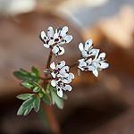Small white spring wildflower