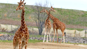 three giraffes at the Columbus Zoo