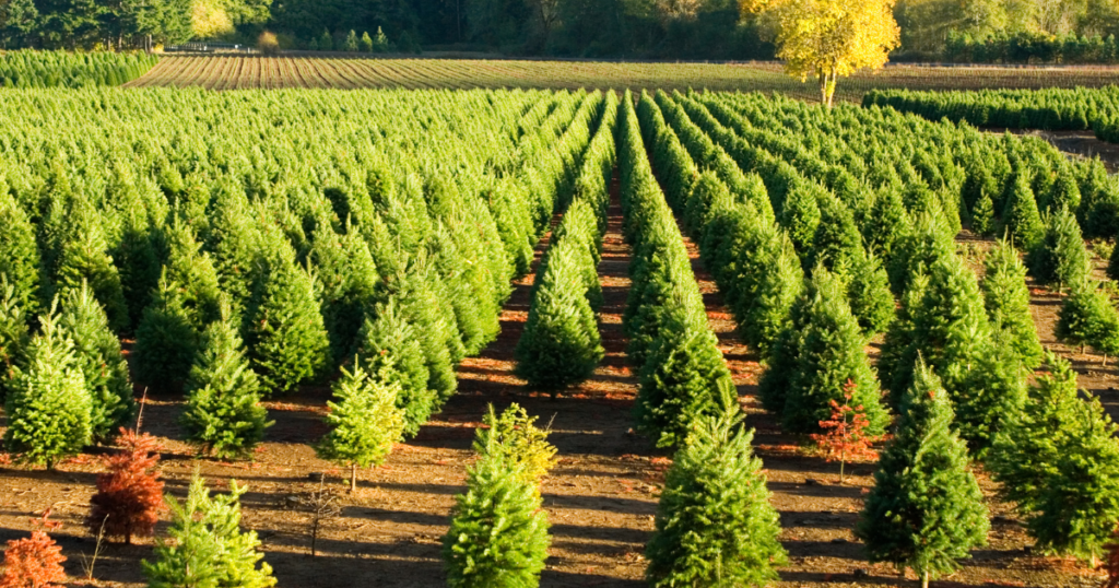 Christmas Trees In At A Christmas Tree Farm
