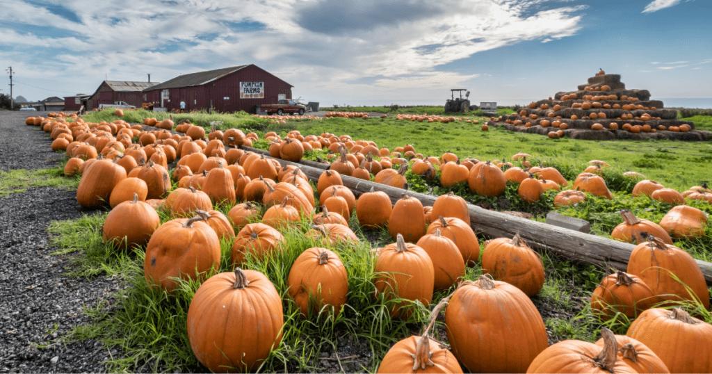 Pumpkin Patch on a farm